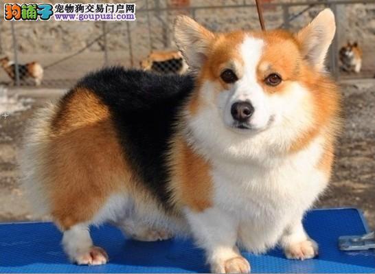 完美品相血统纯正威海柯基出售微信看狗真实照片包纯