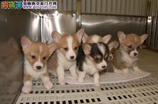 专业的繁殖狗场常年直销高品质柯基犬 品质健康有保障