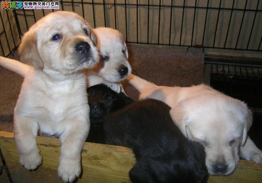专业的繁殖基地 常年直销高品质拉布拉多等名犬