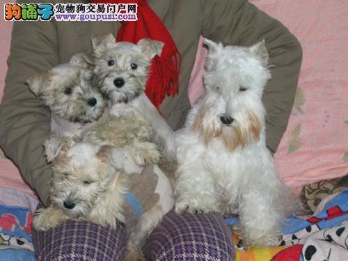 上海狗场常年直销高品质雪纳瑞等名犬 品质健康有保障