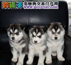 上海哪的哈士奇好 欢迎您来我犬场 品质健康有保障