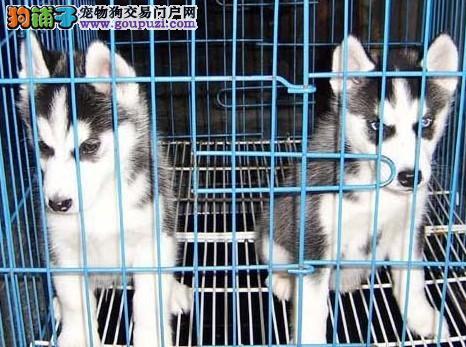 狗场常年专业繁殖培育哈士奇犬 颜色齐全 包品质健康