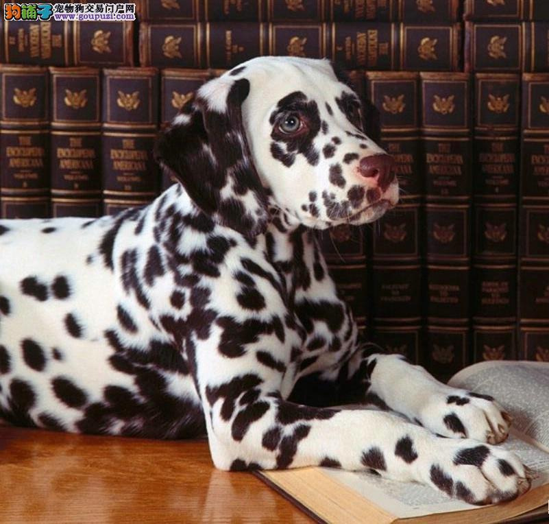 正宗极品泸州斑点狗绝对血统纯正签正规合同请放心购买