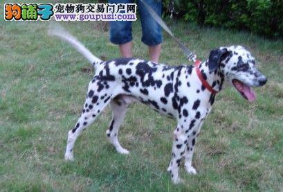 专业正规犬舍热卖优秀南京斑点狗期待您的光临