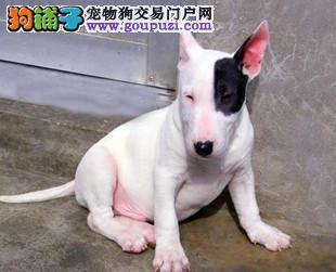 牛头梗郑州CKU认证犬舍自繁自销品相一流疫苗齐全