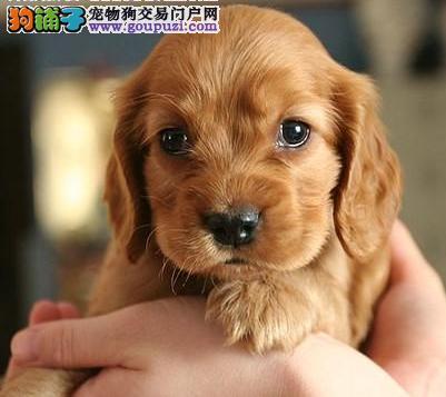 犬舍低价热销 可卡血统纯正专业繁殖中心值得信赖
