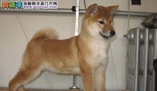 完美品相血统纯正柴犬出售保证品质完美售后