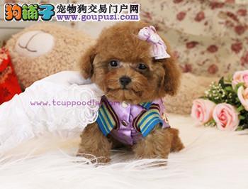 內地各省機場運送 !! 台湾泰迪熊 - 各色貴婦犬