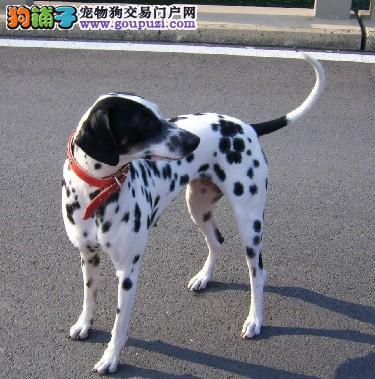 黑龙江哪里有斑点狗卖 黑龙江斑点狗多少钱