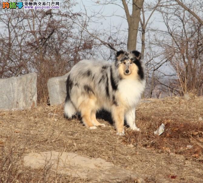 纯种苏牧有木有?巅峰养殖基地常年待售牧羊犬