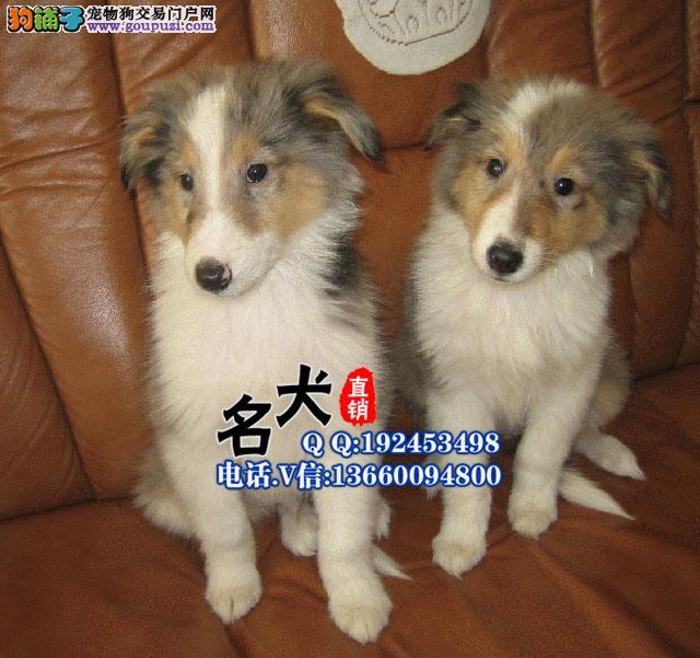 深圳哪里有卖苏格兰牧羊犬纯种苏格兰牧羊犬多少钱
