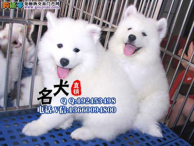 联保专业繁殖基地赛级银狐犬 签合同实地选狗公母均有