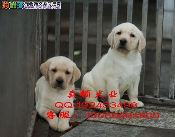 深圳哪里有卖拉布拉多 深圳纯种拉布拉多多少钱