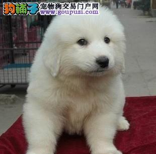 纯种大白熊宝宝健康可以上门选狗