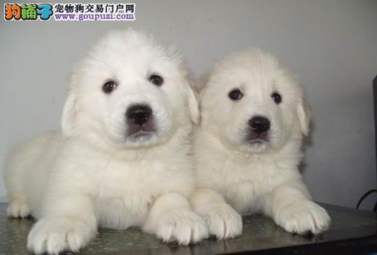 出售纯种大白熊幼犬 血统纯正 品相极佳