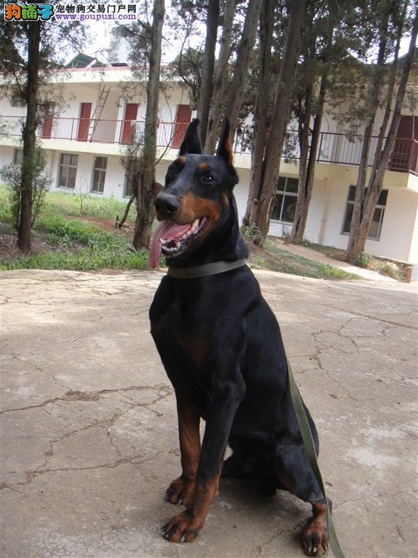 纯种杜宾犬直销、价格美丽品质优良、可签保障协议