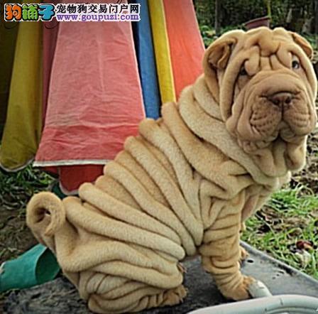 颜色全品相佳的沙皮狗纯种宝宝热卖中品质血统售后均有保障