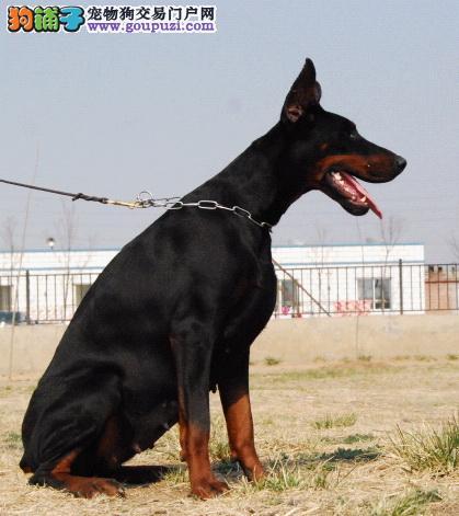 百分百健康纯种杜宾犬重庆热卖中赛级品质保障