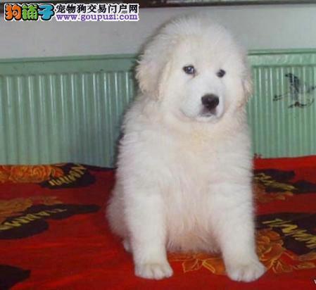 最漂亮的护卫犬2-4个月多只宝宝出售