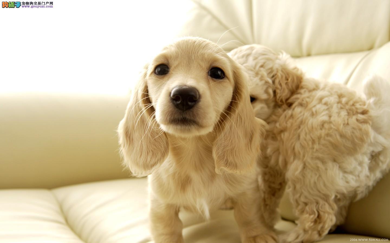 机灵可爱完美极品,可卡犬、宝宝,你会喜欢的