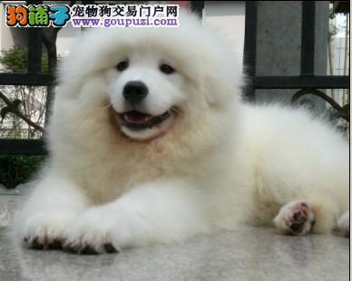 基地特供纯种大白熊犬,纯度第一+品质第一