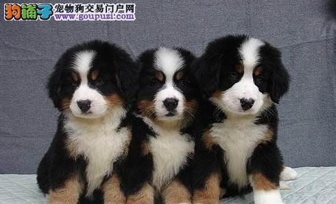 知名犬舍出售多只赛级伯恩山品质保障可全国送货
