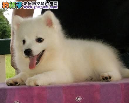 宠物繁殖基地出售顶级银狐幼犬公母全保证健康