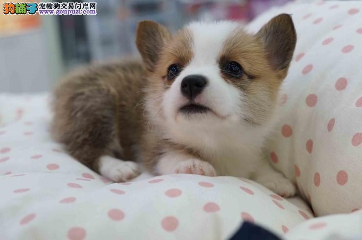 精品柯基幼犬 30天内非人为因素出现健康问题 可退换