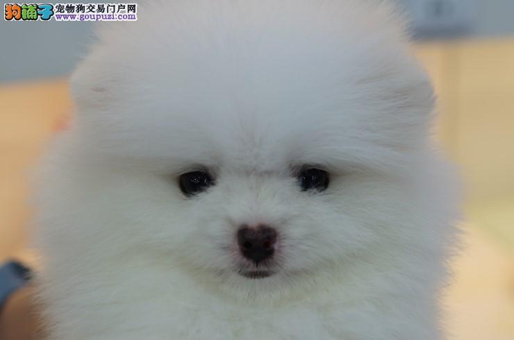 博美 哈多利版博美幼犬 纯种健康 可办血统证