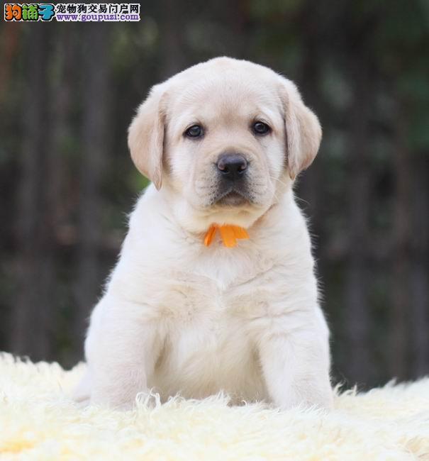 纯种导盲犬哪里有放心犬舍在哪里导盲犬去哪里买