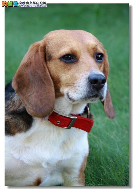 出售纯种健康的濮阳比格犬幼犬品质一流三包终身协议