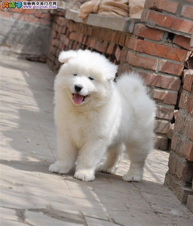 新新宠物出售(萨摩BB)欢迎喜爱的朋友来选购