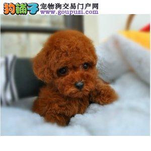 玩具体,纯种泰迪幼犬,大毛量好脸型 保证健康纯种道