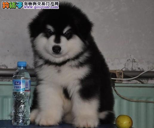 纯种阿拉斯加雪橇犬 巨型阿拉斯加幼犬 保纯保健康