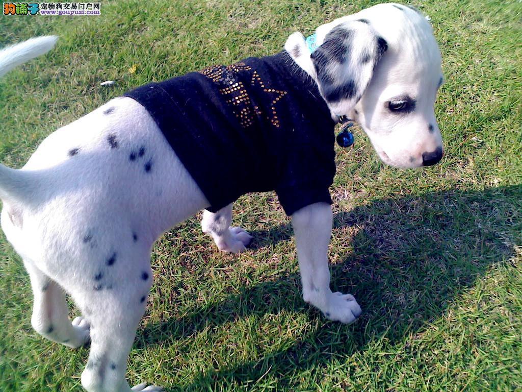 大型犬舍低价热卖极品斑点狗微信咨询看狗狗照片