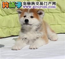 日系秋田,美系秋田。秋田犬繁殖。秋田多少钱?