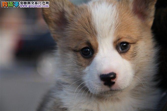 北京顶尖犬业专业繁殖柯基犬,柯基多少钱?柯基照片