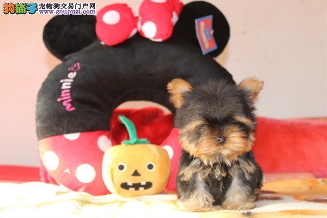 南京专业的约克夏犬舍终身保健康微信咨询看狗狗照片