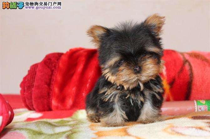 纯小体约克夏幼犬出售 喜欢的朋友不要错过了