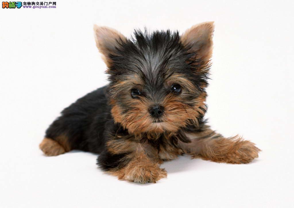 纯种约克夏幼犬、精心繁育品质优良、三包终生协议