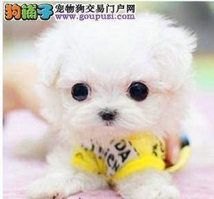 韩国纯种茶杯犬 袖珍犬 迷你犬 珍珠犬 可爱健康