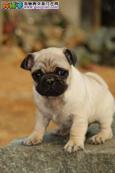 CKU认证犬舍出售赛级小八哥犬,免费送货上门挑选