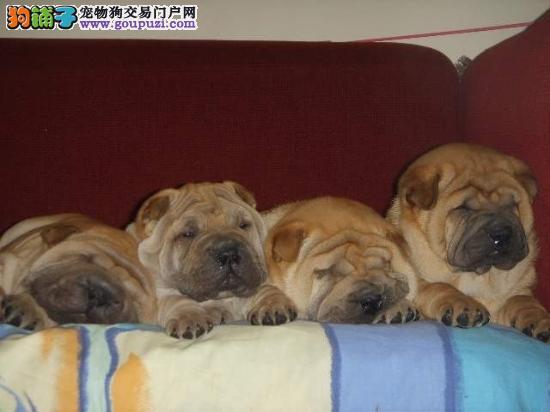 中国传统纯种沙皮犬 满身褶皱 高品质赛级低价出售