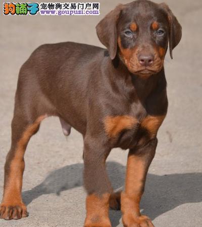 杜宾犬/德系杜宾犬/专业繁殖基地常年出售幼犬