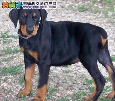 重庆最大的杜宾犬基地 完美售后全国当天发货