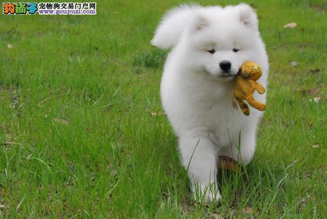 自家犬舍火爆出售微笑天使广州萨摩耶 可全国空运发货