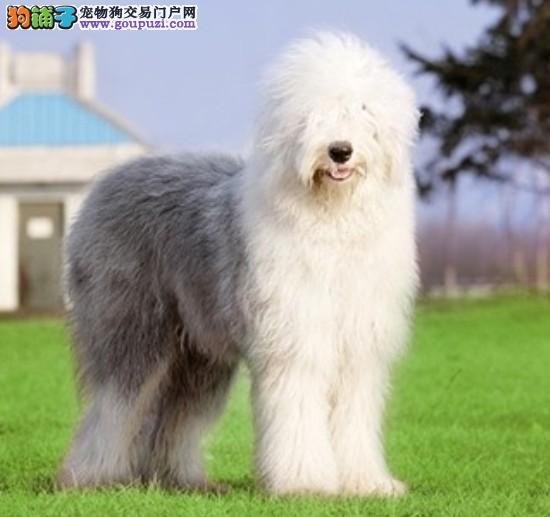 南京出售}{白头齐肩,超级可爱、健康*古老牧羊幼犬