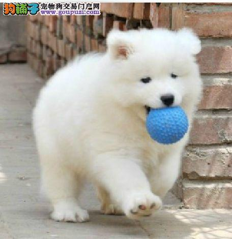 萨摩耶渝中CKU认证犬舍自繁自销诚信经营良心售后