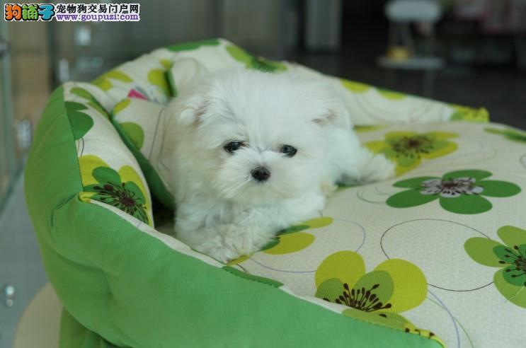 CKU认证犬舍出售高品质马尔济斯保障品质售后
