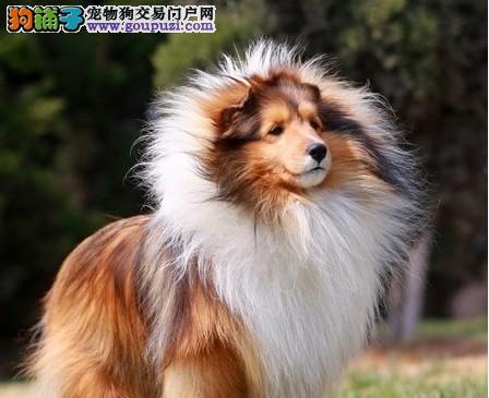 武汉出售颜色齐全身体健康喜乐蒂微信看狗可见父母